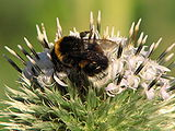 Echinops-sphaerocephalus-bumblebee-0b.jpg