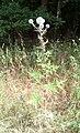 Echinops ritro Podkomorské lesy.jpg