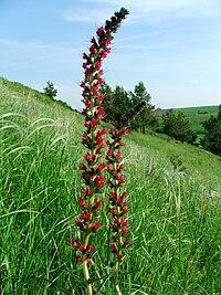 Echium russicum 1