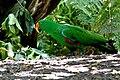 Eclectus roratus -San Diego Zoo -male-8a.jpg