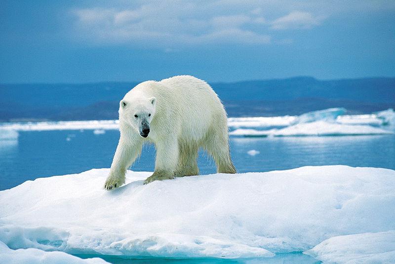 polar boar walking on icebergs in Nunavut, Canada