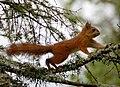 Ekorn Squirrel.JPG