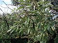 Elaeagnus-angustifolia-leaves.JPG