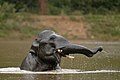 Elephant in water KalyanVarma.Cat3elephant.jpg