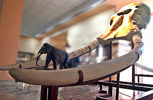 Straight-tusked elephant - Skull and model