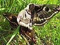 Emperor Moths hold congress - geograph.org.uk - 790615.jpg
