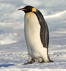 Image result for emperor penguin