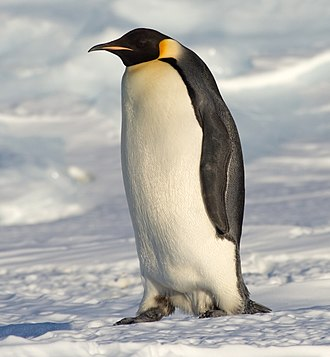 Emperor penguin - Adult