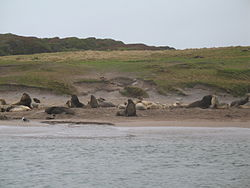 New Zealand (Hooker's) Sea Lions on an Enderby Island beach.