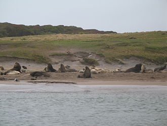 New Zealand sea lion - One of colonies on Enderby Island