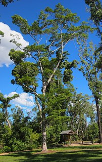 <i>Endiandra discolor</i> Species of tree