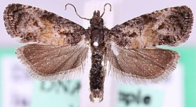 Endothenia nigricostana.jpg