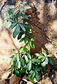 Englerophytum magalismontanum, Waterberg.jpg