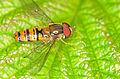 Episyrphus balteatus (male) 8498.jpg