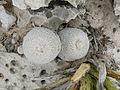 Epithelantha micromeris (5676417325).jpg