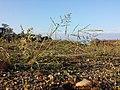 Eragrostis virescens sl2.jpg