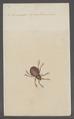 Eremaeus - Print - Iconographia Zoologica - Special Collections University of Amsterdam - UBAINV0274 072 04 0043.tif