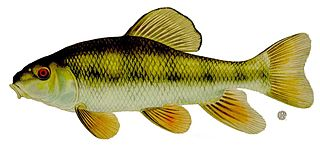 Creek chubsucker Species of freshwater fish