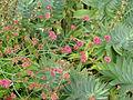 Eriogonum grande rubescens (20287559792).jpg