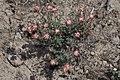 Eriogonum thymoides 9255.JPG