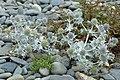 Eryngium maritimum-planto.jpg