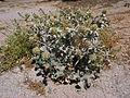 Eryngium maritimum Sos Alinos Cala Liberotto 16072014 40.43219, 9.77814.jpg