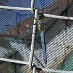 Erythemis collocata-Male Eating Male Argia-3.jpg