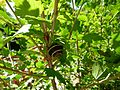 Escargot sur une branche.JPG