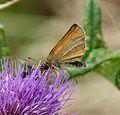 Essex Skipper. Thymelicus lineola. - Flickr - gailhampshire.jpg