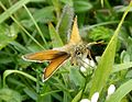 Essex Skipper. Thymelicus lineola - Flickr - gailhampshire.jpg