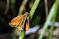 Essex skipper (Thymelicus lineola) male.jpg