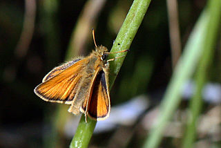 Essex skipper species of insect