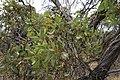 Eucalyptus incrassata (31823329143).jpg