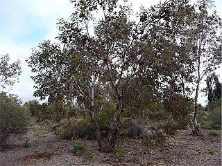 <i>Eucalyptus youngiana</i> Species of plant