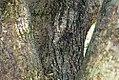 Eucommia ulmoides 3zz.jpg