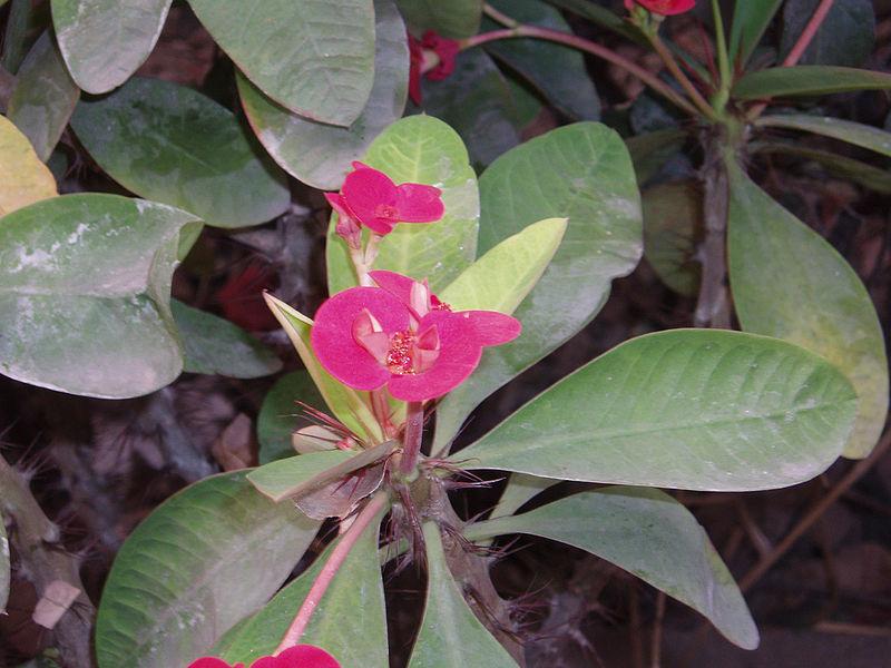 File:EuphorbiaMilii4.jpg