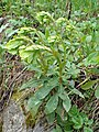 Euphorbia amygdaloides kz09.jpg