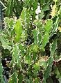 Euphorbia grandialata Wilczomlecz 2014-10-12 02.jpg
