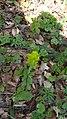 Euphorbia polychroma (Euphorbiaceae).jpg