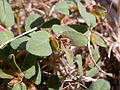 Euphorbia serpyllifolia (3742972858).jpg