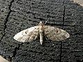 Eupithecia tantillaria (7173070341).jpg