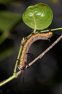 Euploea core-Kadavoor-2016-09-08-002.jpg