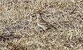 Eurasian Skylark (Alauda arvensis) (26398329101).jpg