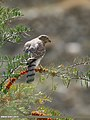 Eurasian Sparrowhawk (Accipiter nisus) (45685380331).jpg