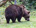 Europaeischer Braunbaer Ursus arctos arctos Tierpark Hellabrunn-4.jpg