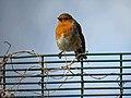 European Robin Erithacus rubecula on fence in Haringey, London 2.jpg
