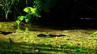 File:European otter (Lutra lutra) in Czech Republic.webm