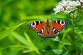European peacock butterfly (36693337710).jpg