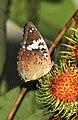 Euthalia lubentina in a Rambutan tree @ Kanjirappally.jpg
