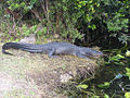 Everglades Alligator verkl.jpg